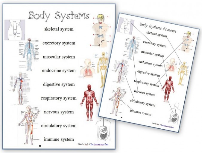 Body systems worksheet answers