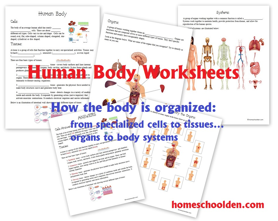 Alluring Worksheets On Human Body Systems Free for Your Free ...