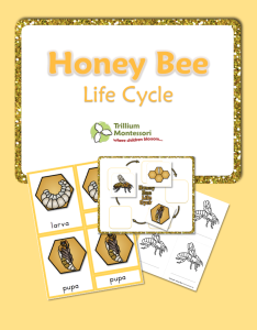FREE Honey Bee Life Cycle Printable Pack | Free Homeschool Deals ©