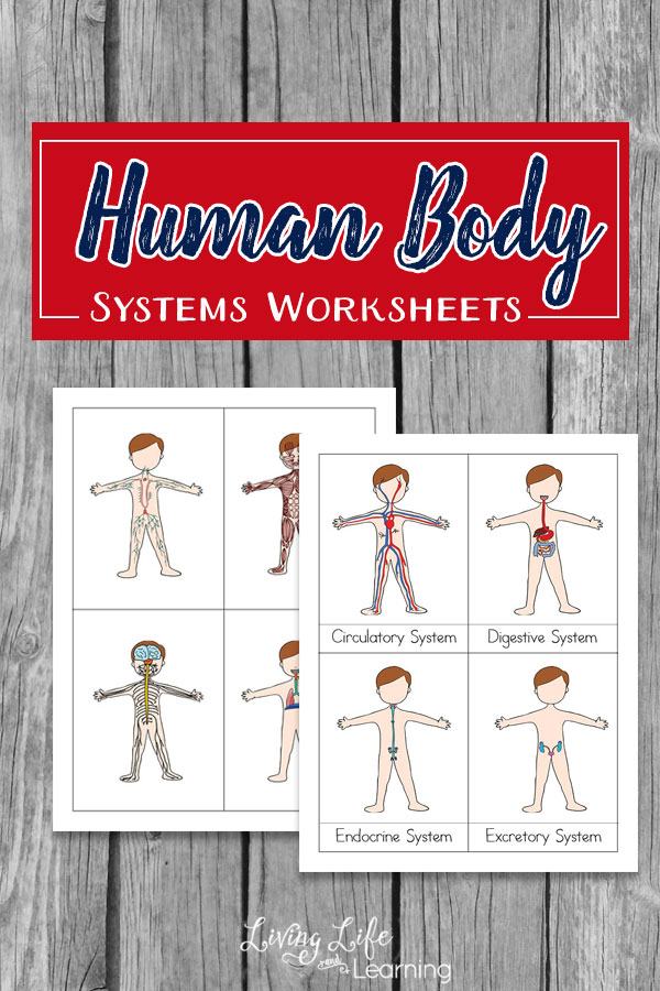 Free Human Body Systems Worksheets
