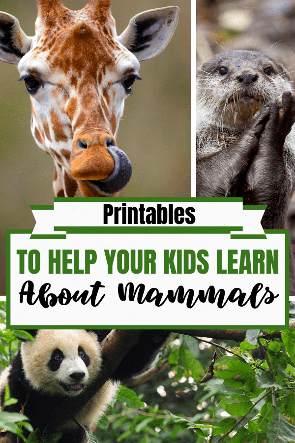 FREE Printables to Learn About Mammals. #allabout mammals #mammalsresources #Teachingcolors #freehomeschooldeals #fhdhomeschoolers
