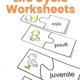 Preschool Turkey Life Cycle Pages. #freethanksgivingprintables #turkeyworksheets #thanksgivingworksheets #freehomeschooldeals #fhdhomeschoolers