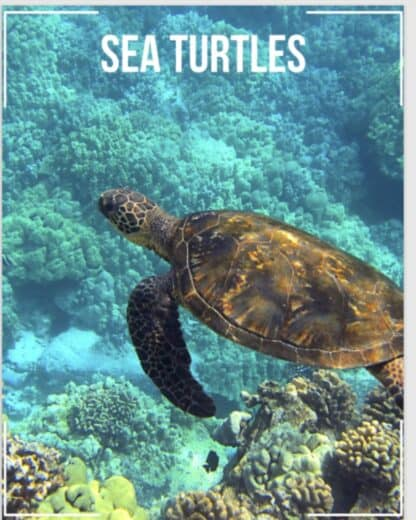 image of sea turtle swimming underwater for Sea Turtle Unit Study