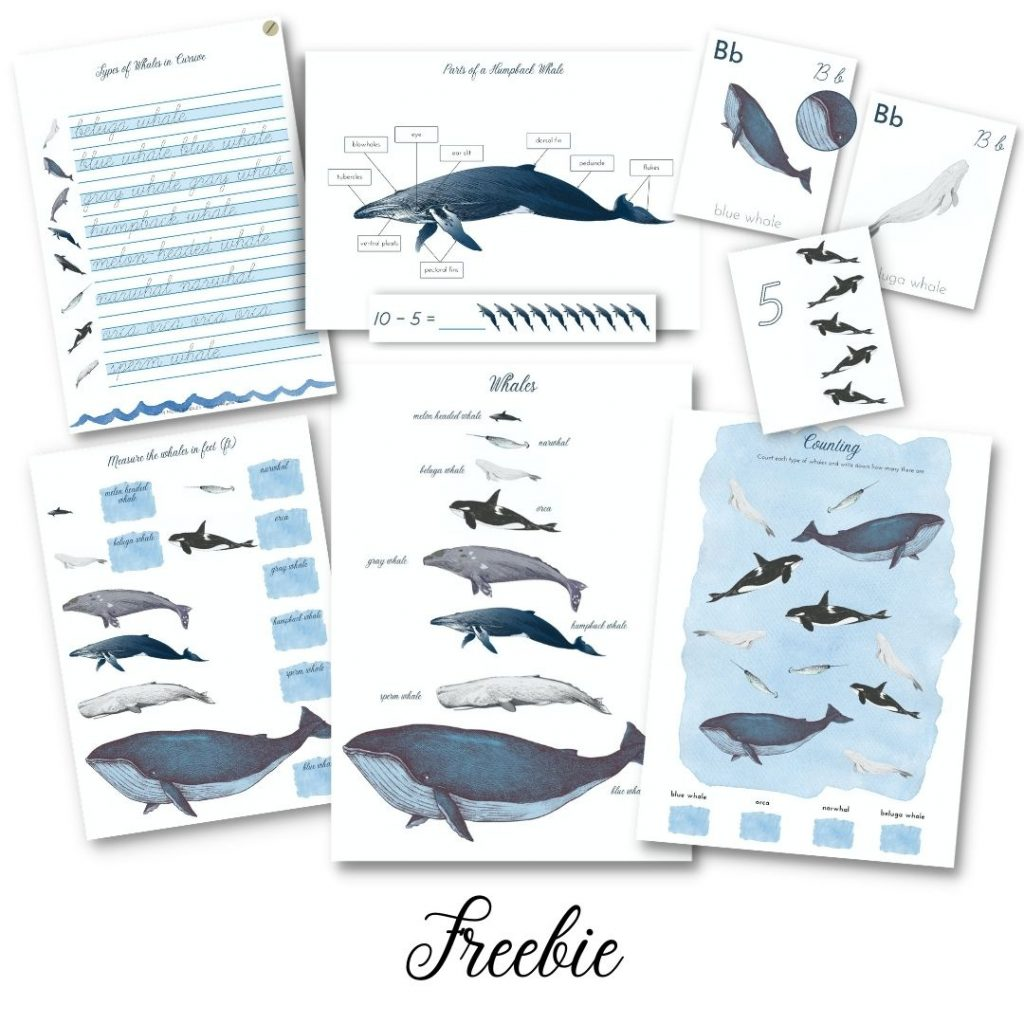 Free Whales Study Pack. #freehomeschooldeals #fhdhomeschoolers #studingwhales #whalesunitystudy #learningaboutwhales