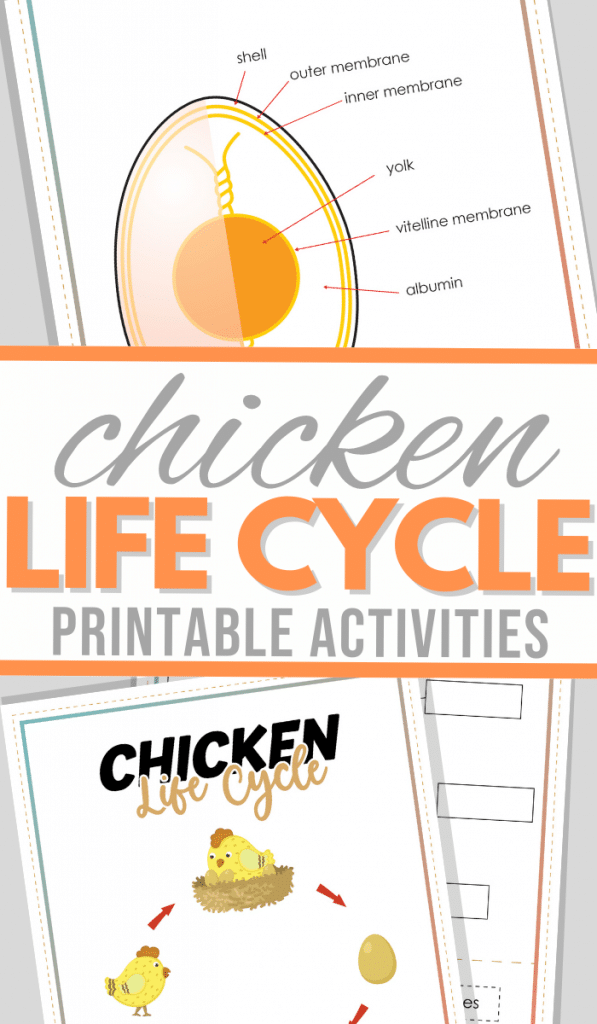 Free Chicken Life Cycle Activity. #freehomeschooldeals #fhdhomeschoolers #learningaboutchickens #chickenlifecycleworksheets #chickenlifecyceactivity