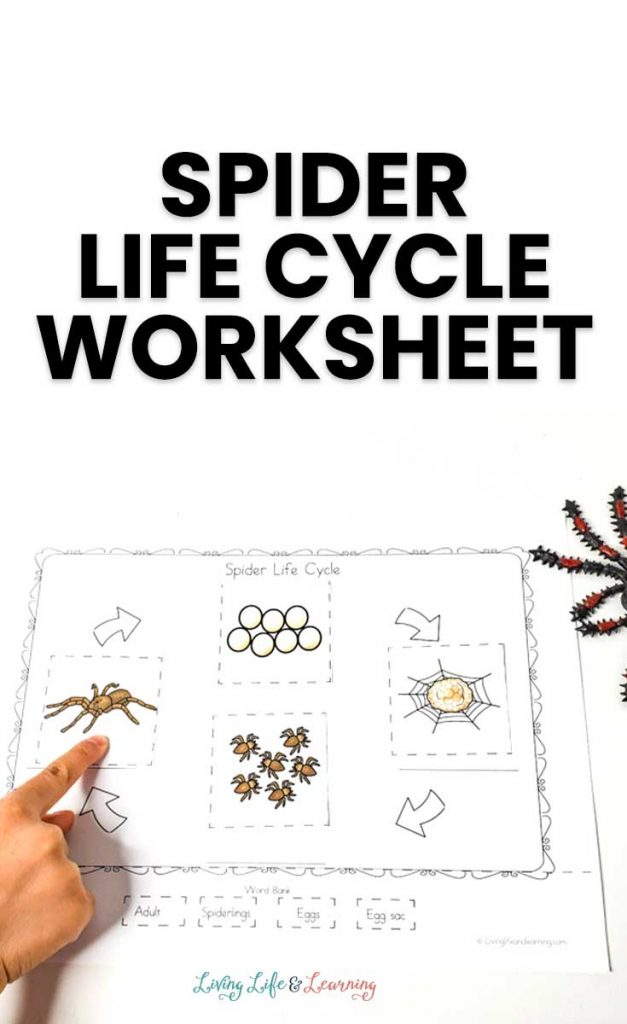 Spider Life Cycle Activity. #freehomeschooldeals #fhdhomeschoolers #learningaboutspiders #spiderworksheets #spiderlifecycle